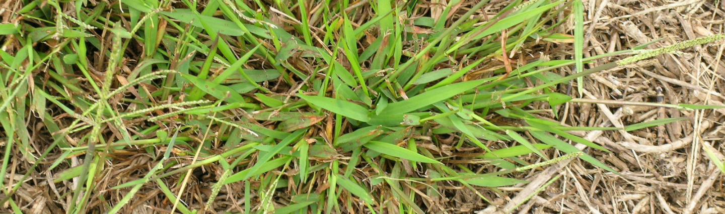 Catching and Controlling Crabgrass Image
