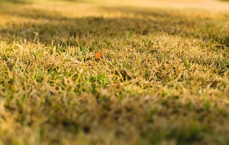Lawn under drought stress