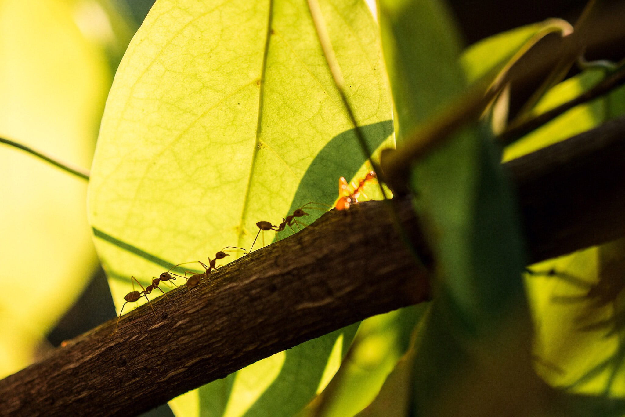 <p>Fire ants on a branch</p>