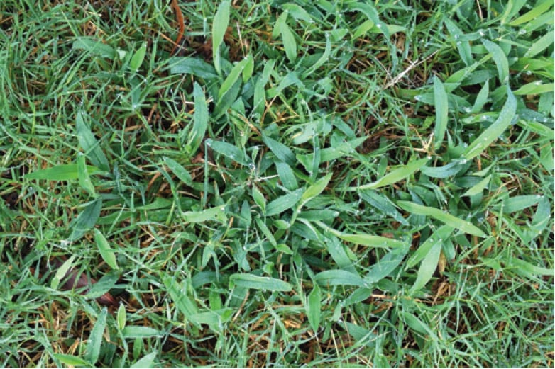 <p>crabgrass takes over a lawn</p>