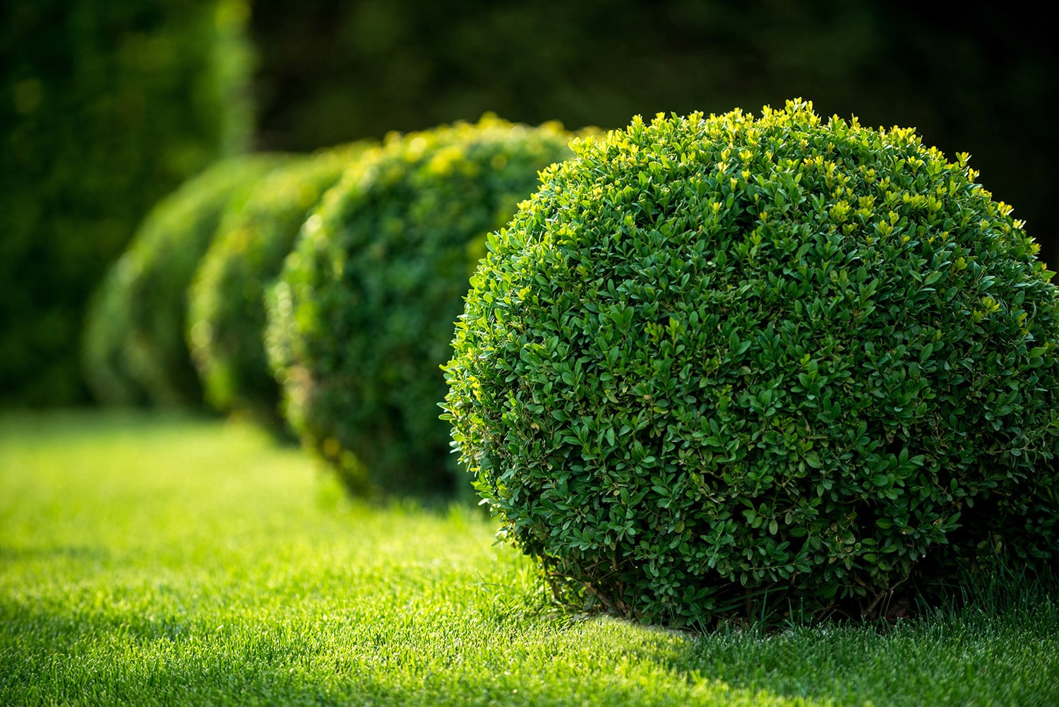 <p>Beautifully-trimmed evergreen bushes</p>