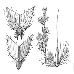 Broomsedge Illustration