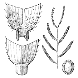 Bull Paspalum Illustration