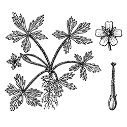 Carolina Geranium Illustration