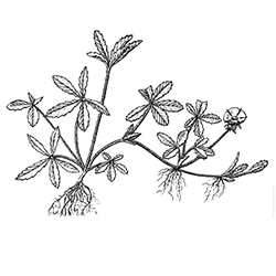 Cinquefoil Illustration