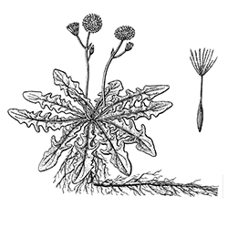 False Dandelion Illustration