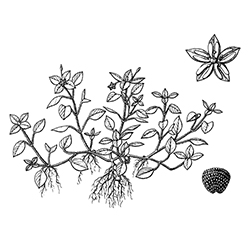 Common Chickweed Illustration
