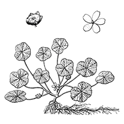Common Mallow Illustration