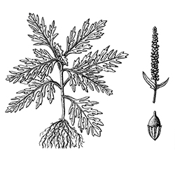 Common Ragweed Illustration