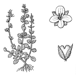 Corn Speedwell Illustration