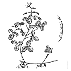 Creeping Beggarweed Illustration