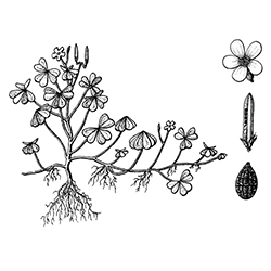 Creeping Oxalis Illustration