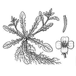 Cutleaf Evening Primrose Illustration