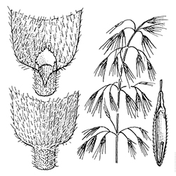 Downy Brome Illustration