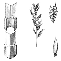 Fine Fescue Illustration