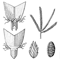 Goosegrass Illustration