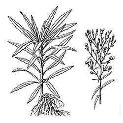Horseweed Illustration