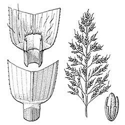 Johnsongrass Illustration