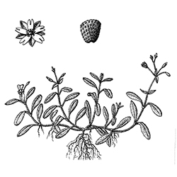 Mouse-ear Chickweed Illustration