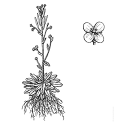 Mouse-Ear Cress Illustration