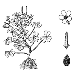 Oxalis Illustration