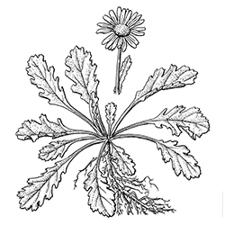 Oxeye Daisy Illustration