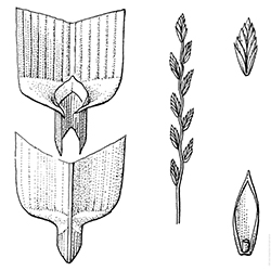 Perennial Ryegrass Illustration