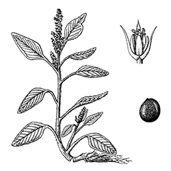 Pigweed Illustration