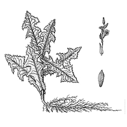 Prickly Lettuce Illustration
