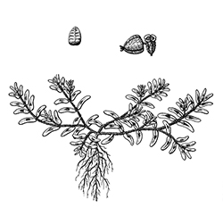 Prostrate Spurge Illustration