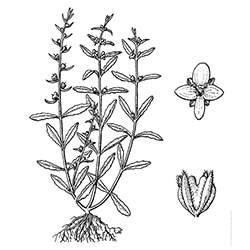 Purslane Speedwell Illustration