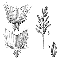 Saltgrass Illustration