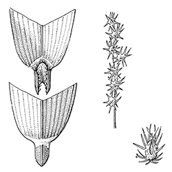 Sandbur Illustration