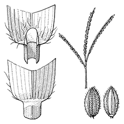 Smooth Crabgrass Illustration