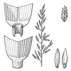 Tall Fescue Illustration