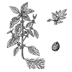 Three-seeded Mercury Illustration