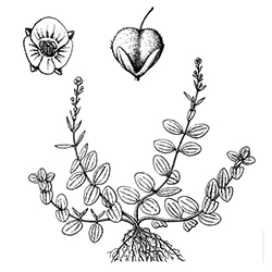 Thymeleaf Speedwell Illustration