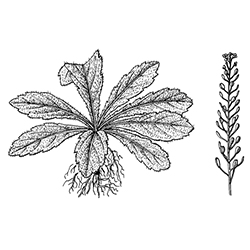 Virginia Peppergrass Illustration