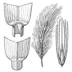 Wild Barley Illustration