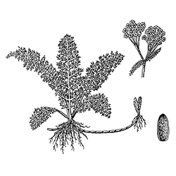 Yarrow Illustration