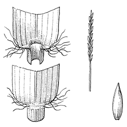 Zoysiagrass Illustration